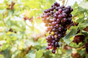 red-grapes-on-tree